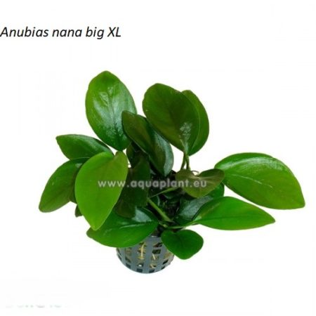 Anubias nana big XL 12,00€